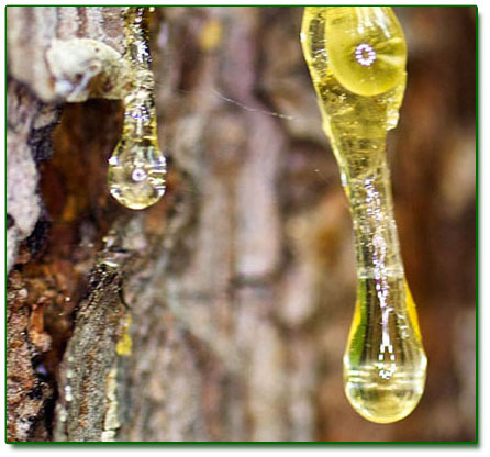 Ringing Cedars. Resin extract